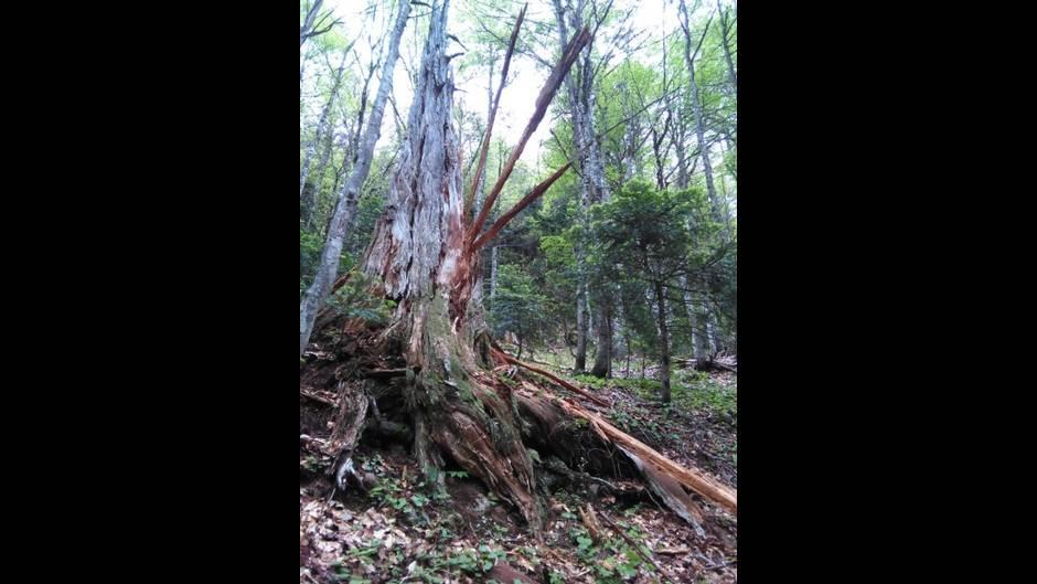 drvo, Tjentište