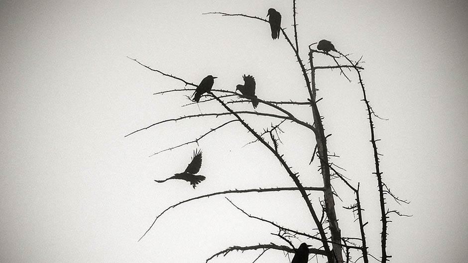 magla, ptice, vrana, drvo, gavran,