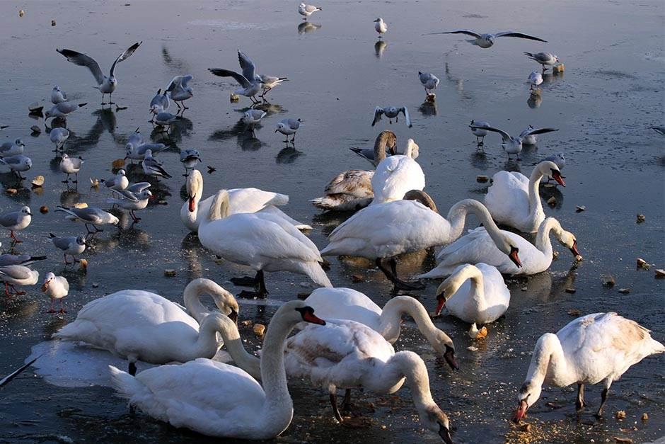 dunav, zemun, led, labudovi, zima, labud, ptice