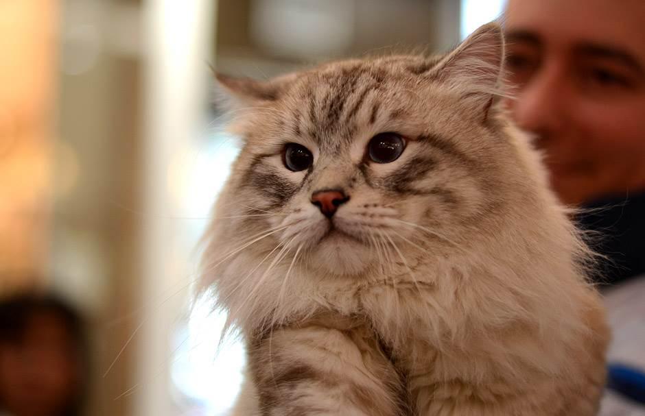 velika plijen kremasta maca