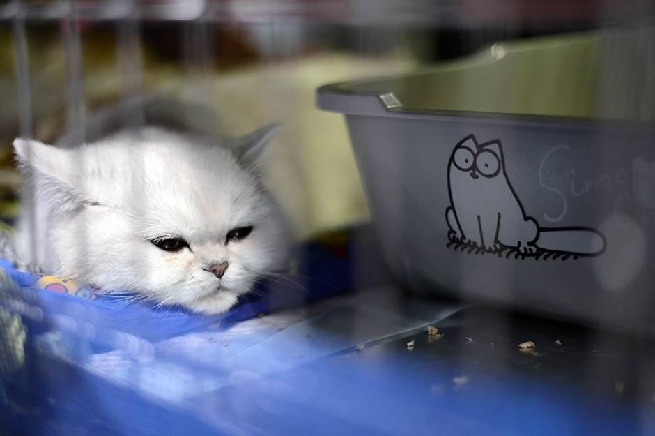 mrnjau fest, mačka, mačke, maca, mace, kućni ljubimci, životinje