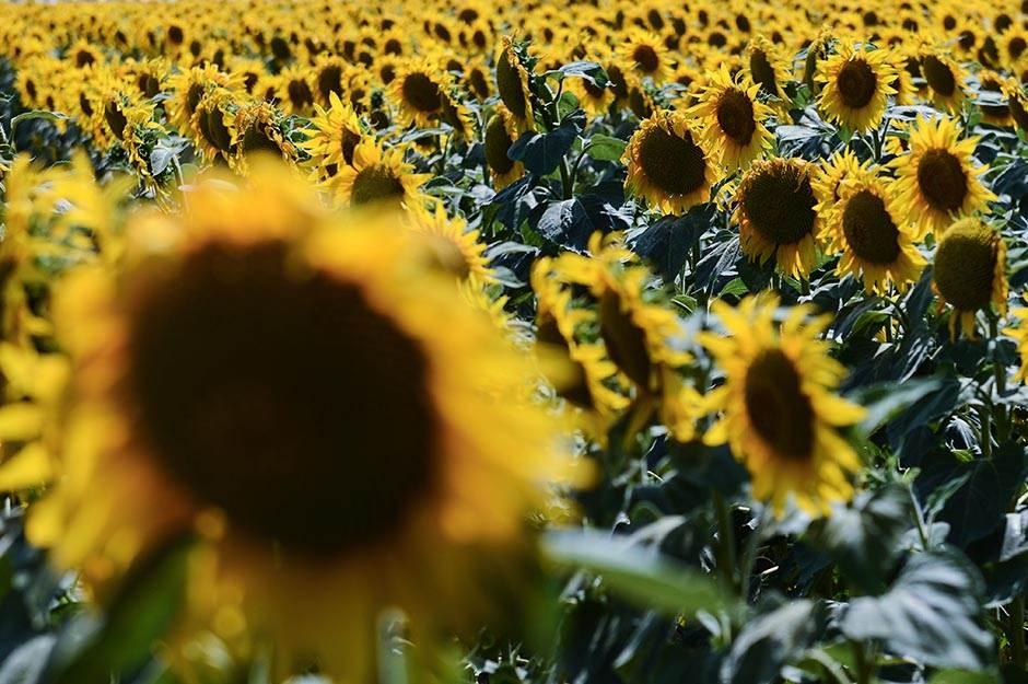 RS zabranila uvoz sjemenki suncokreta iz Srbije