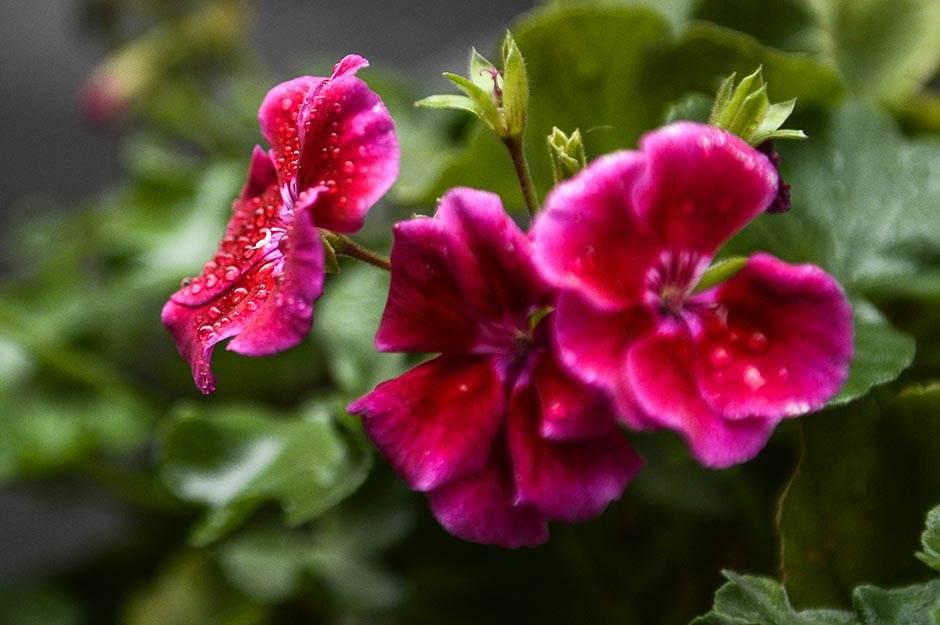 jesen, cvet, cveće, kiša