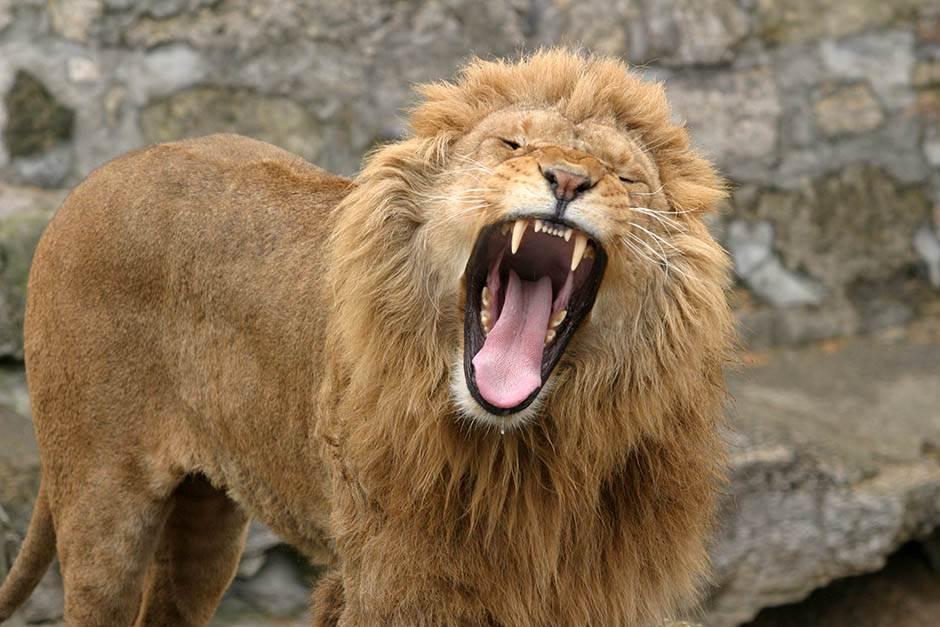 lav lavovi životinja životinje zoo vrt priroda