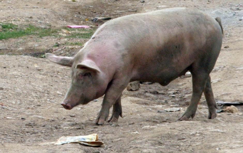 svinja, krmača, svinjsko meso, meso, trovanje