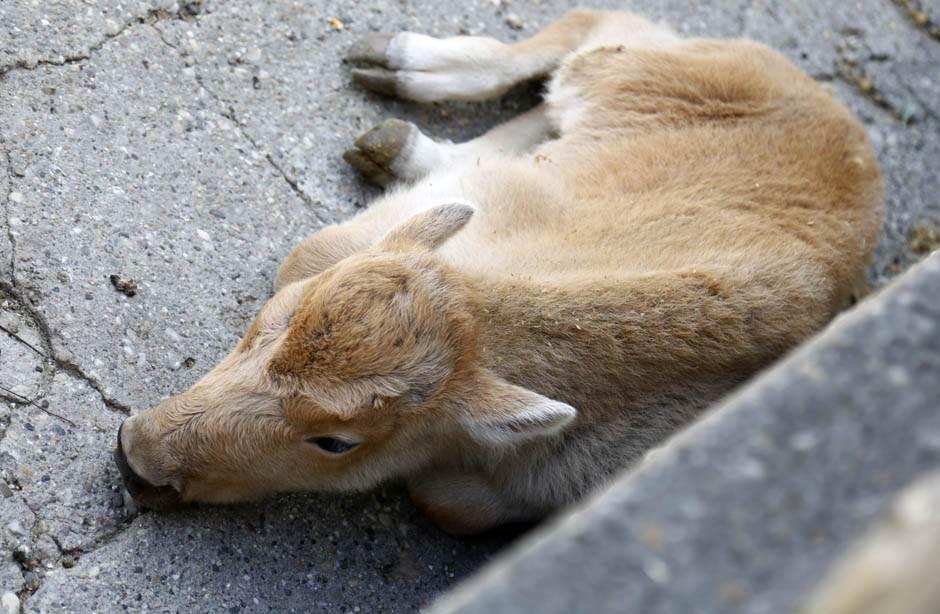 ČUDO! Rodio se beli bizon u Beo zoo-vrtu
