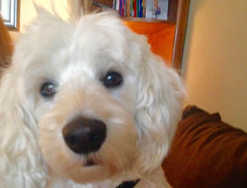 pas, pudla, psi, životinje, kućni ljubimac