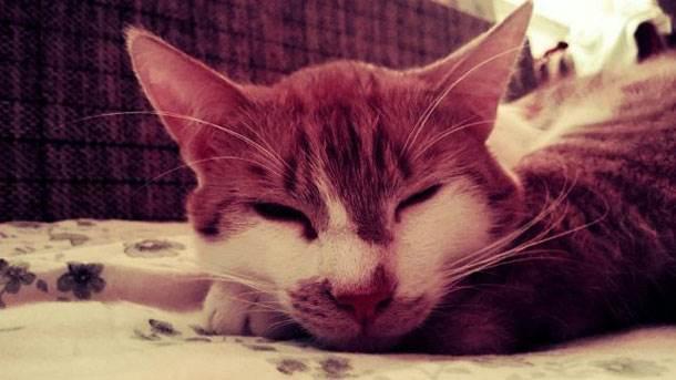 mačka, ljubimci