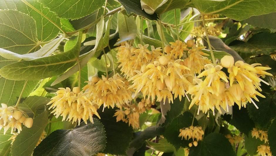 Slovi kao najveće voće na svijetu, jer plodovi nangke mogu biti teški i do 45 kilograma.