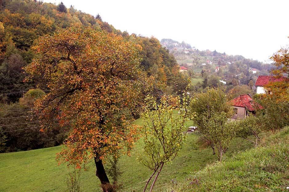 zlatar, zlatibor, jesen, šuma, drveće, priroda