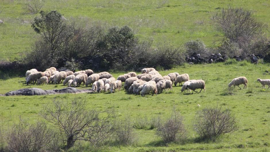 ovca, ovce