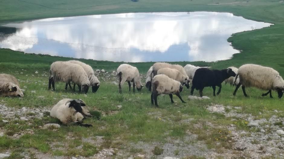 ovca, ovce, stado ovaca, stado, pastir