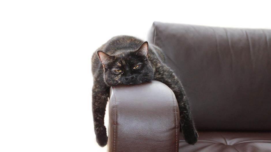 mačka, ljenost