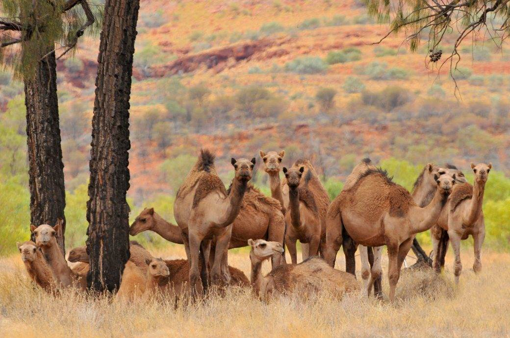 kamila kamile grbadeva grbadeve deve
