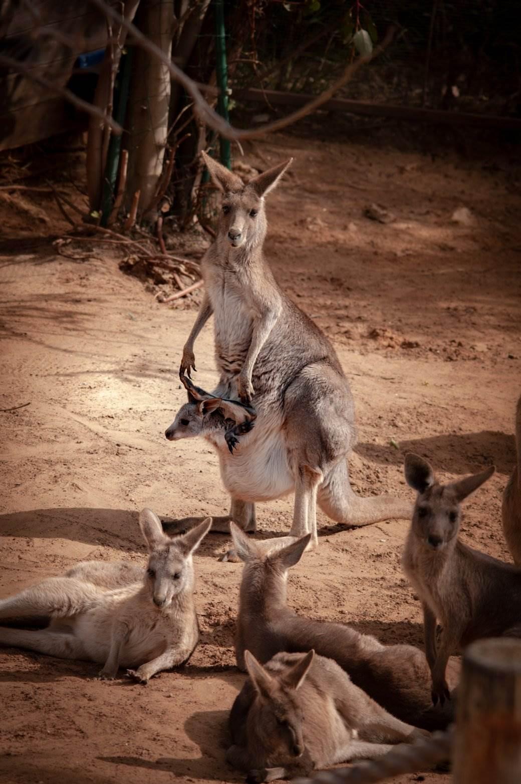 Ostrvo kengura