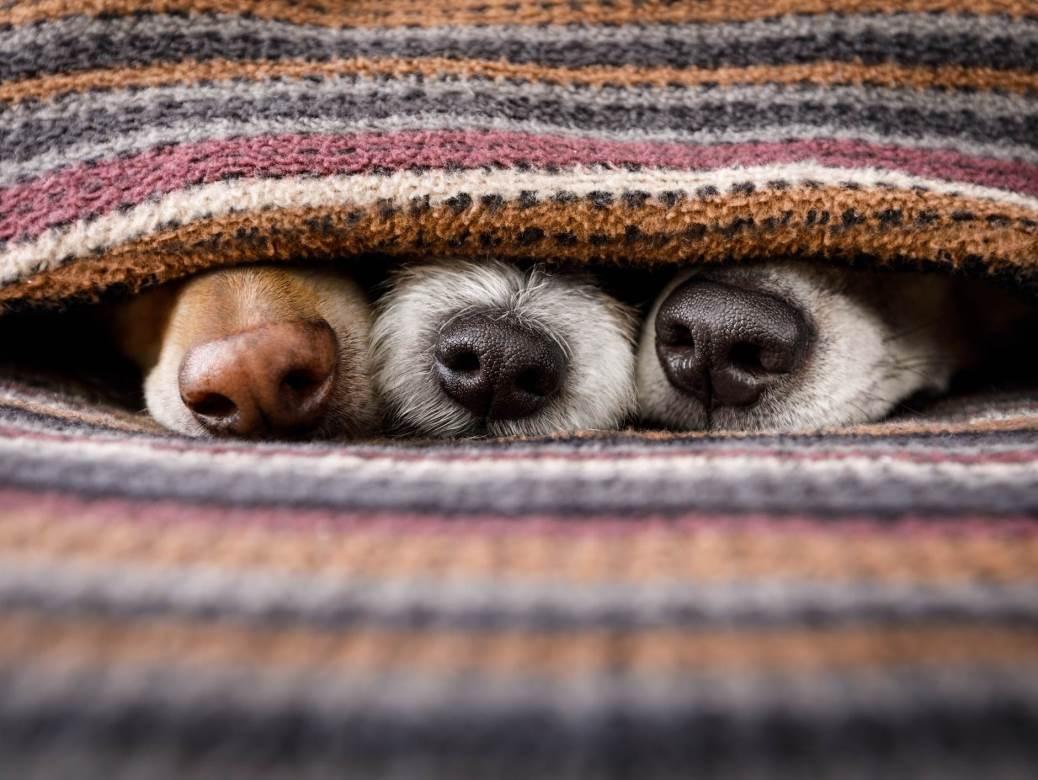psi, njuške