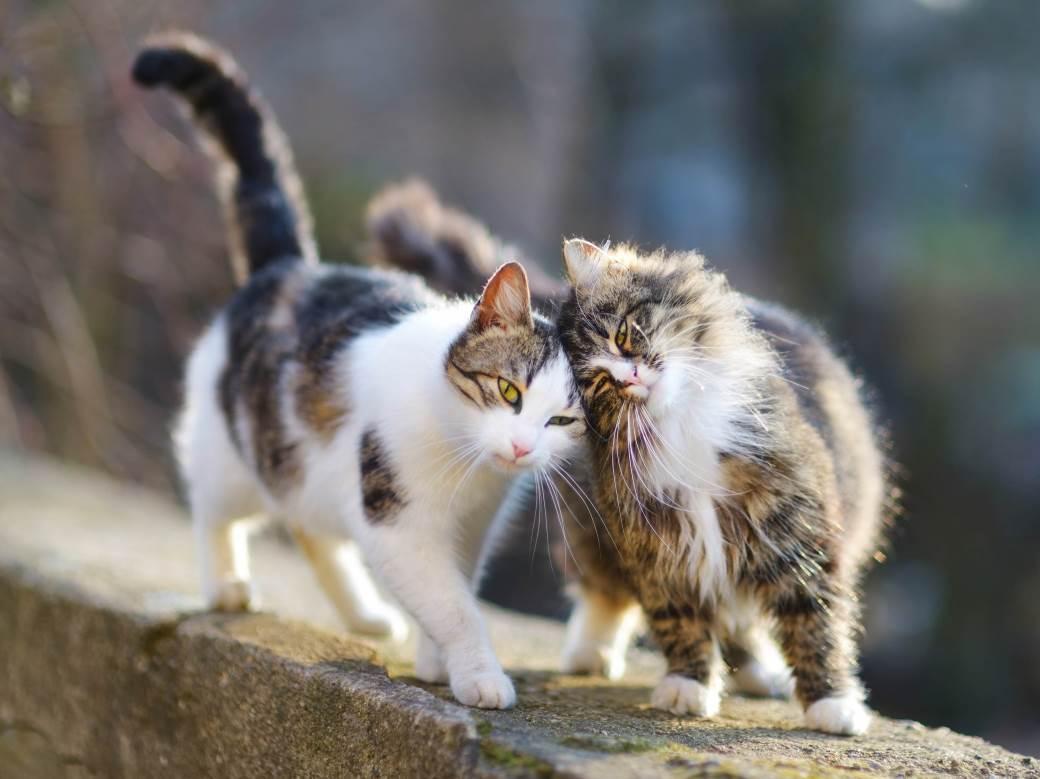 lutalica, mačke