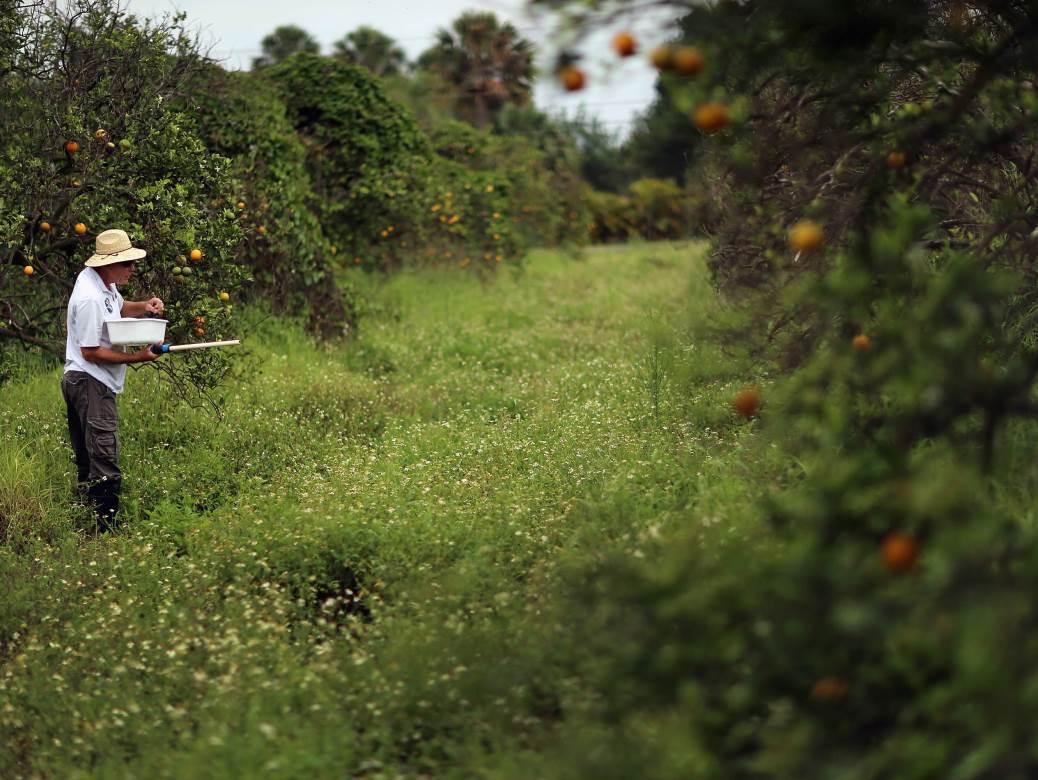 plantaža pomorandže