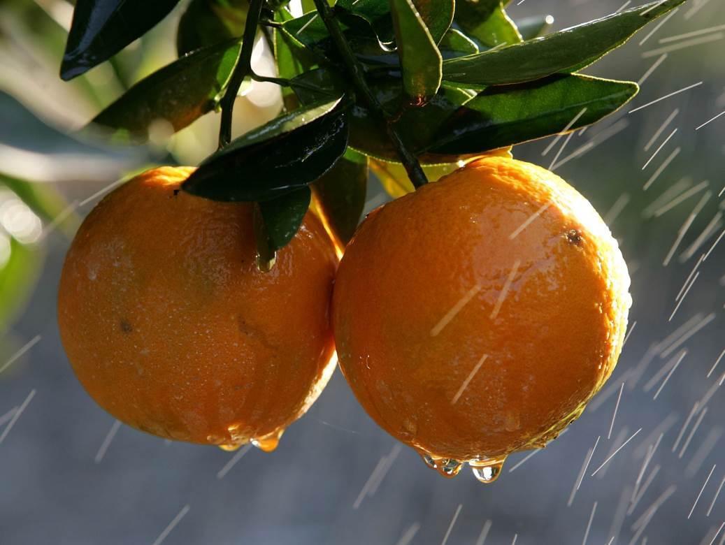 narandže, pomorandže
