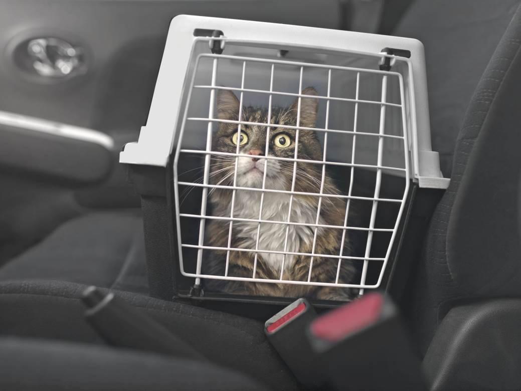 mačka, transporter, ljubimci, putovanja