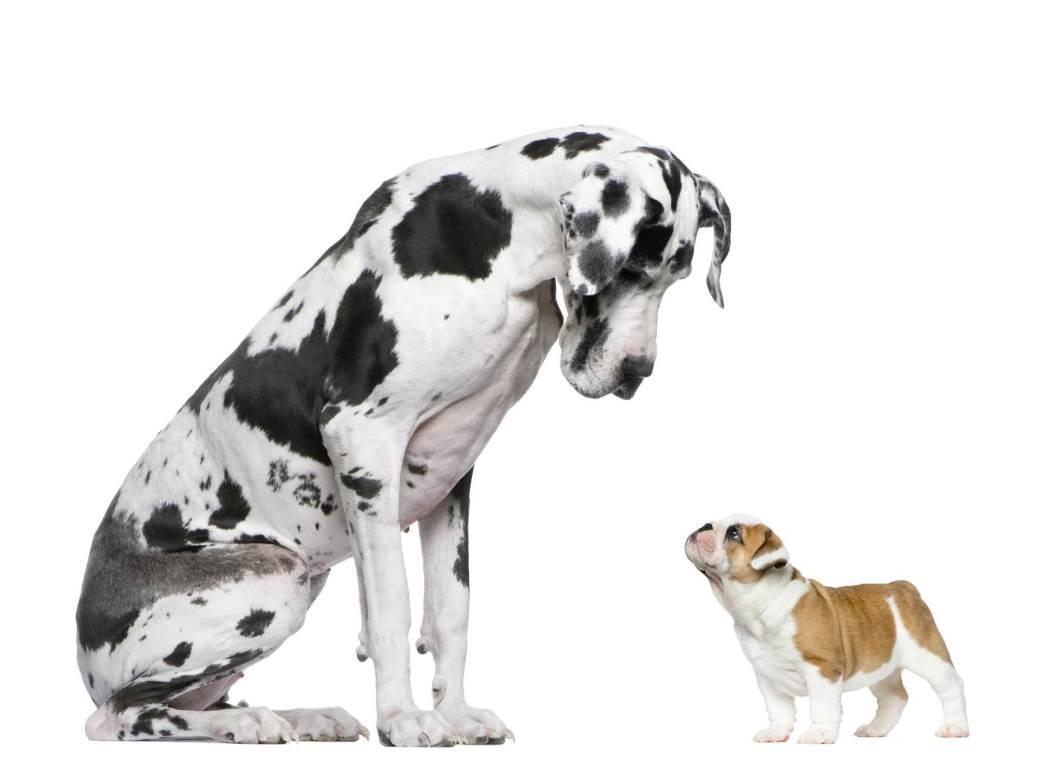 pas, psi, njemačka doga