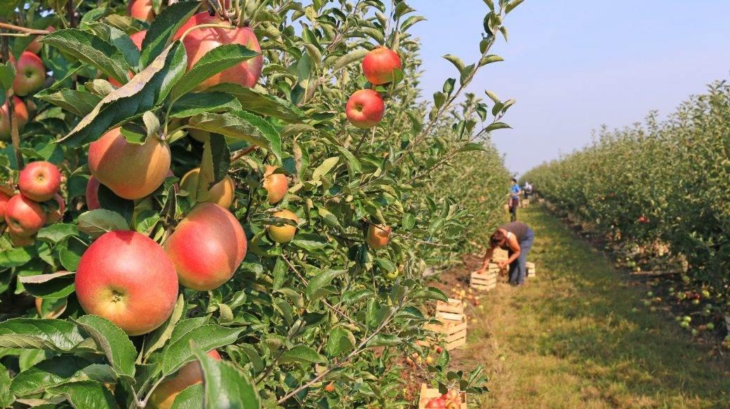 vocnjak branje jabuka
