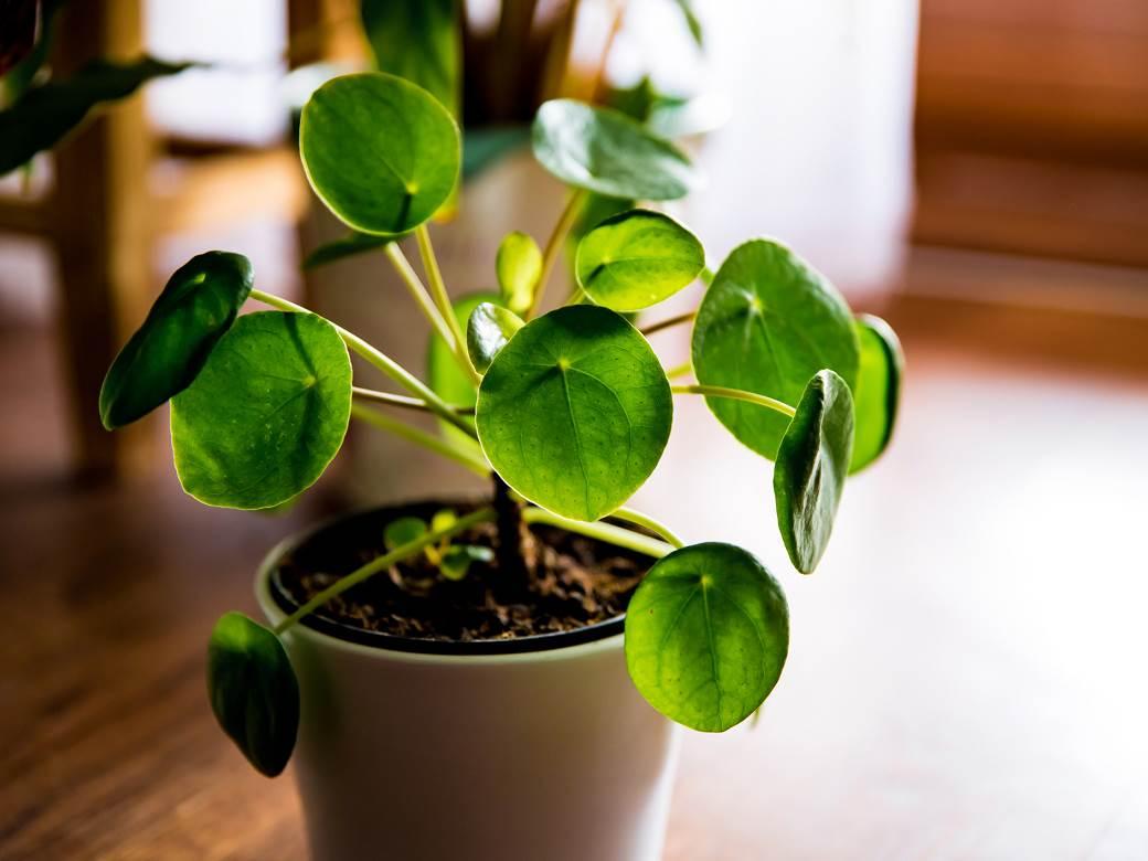 biljka u saksiji