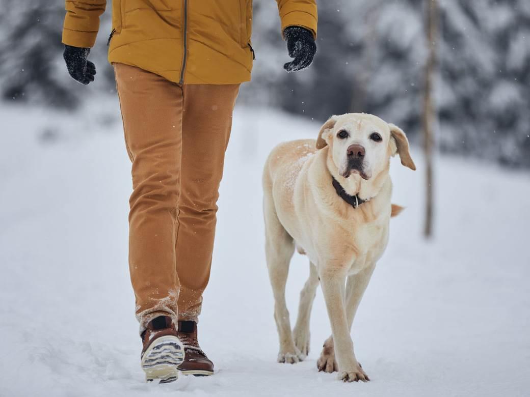 labrador, pas, zima, šetnja