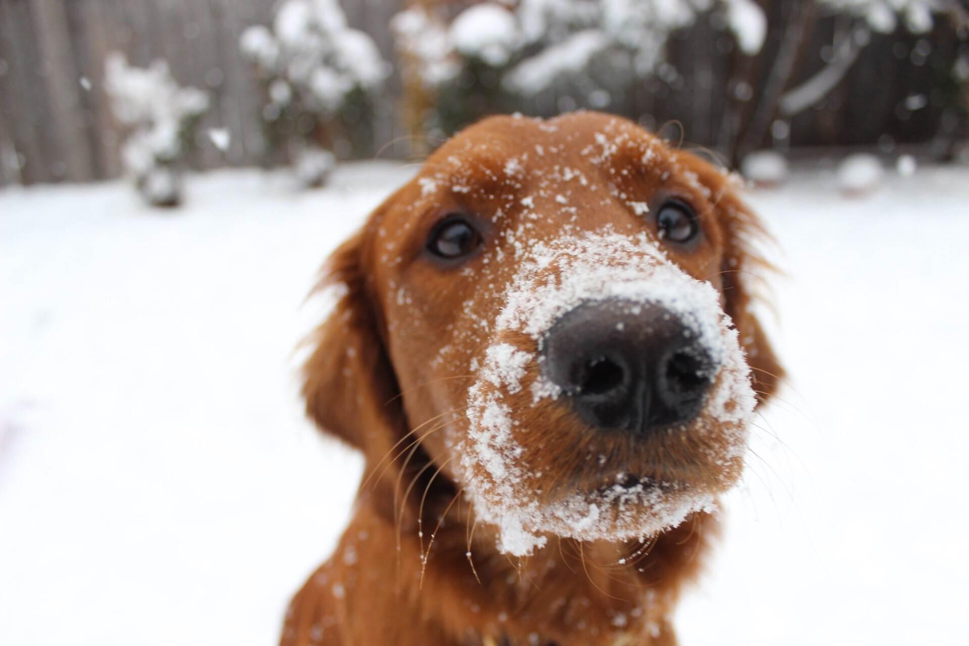pas, zima, snijeg