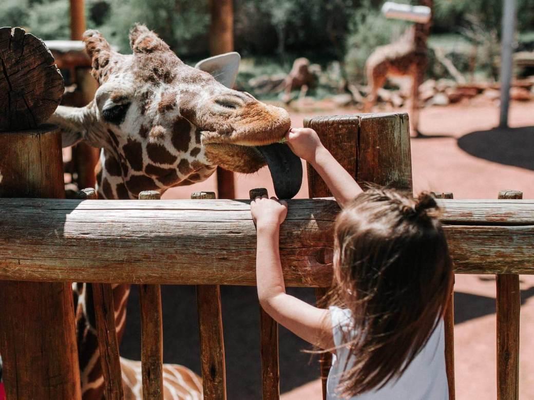 žirafa, zoo