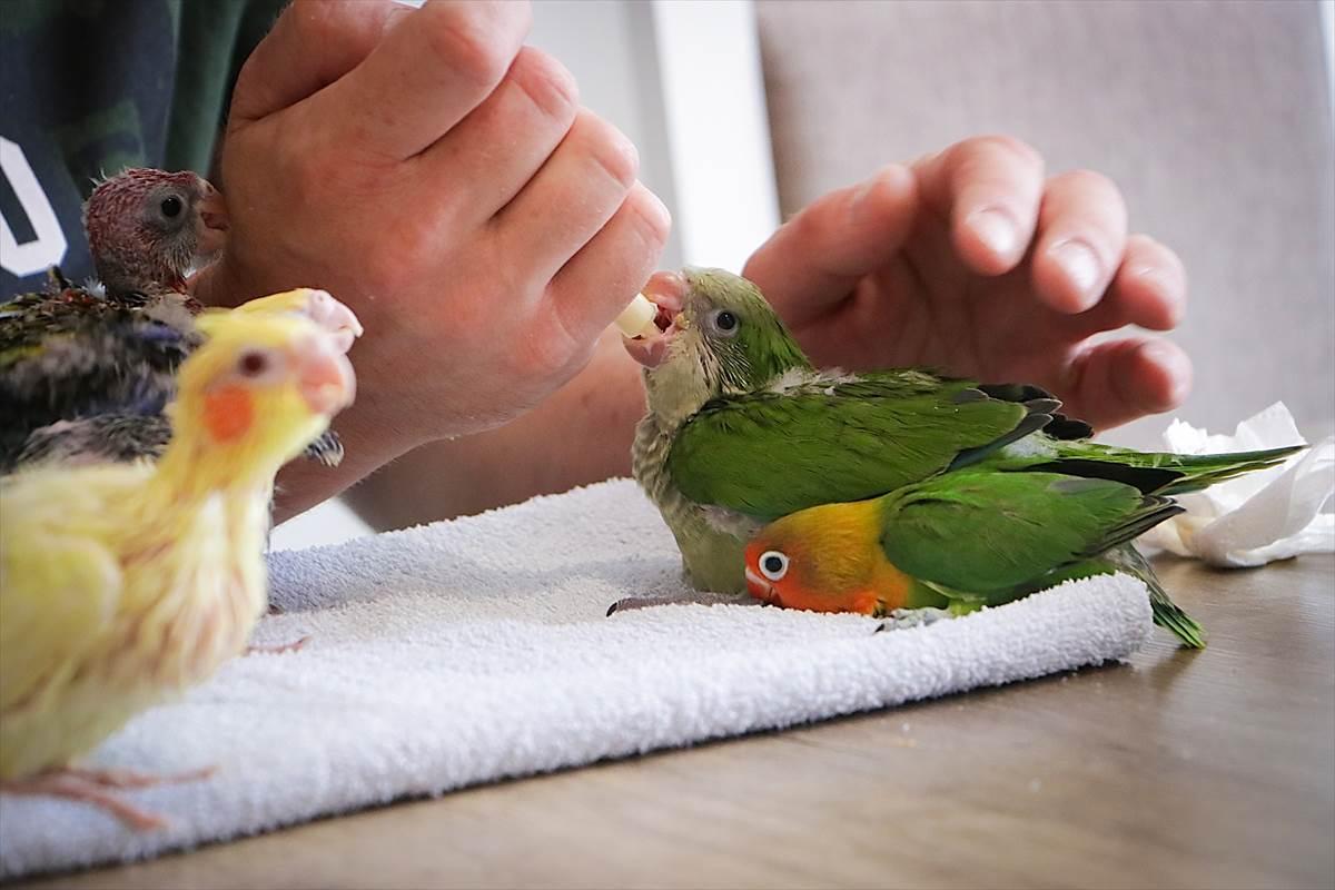 papagaj, papagaji, Boris Krečar