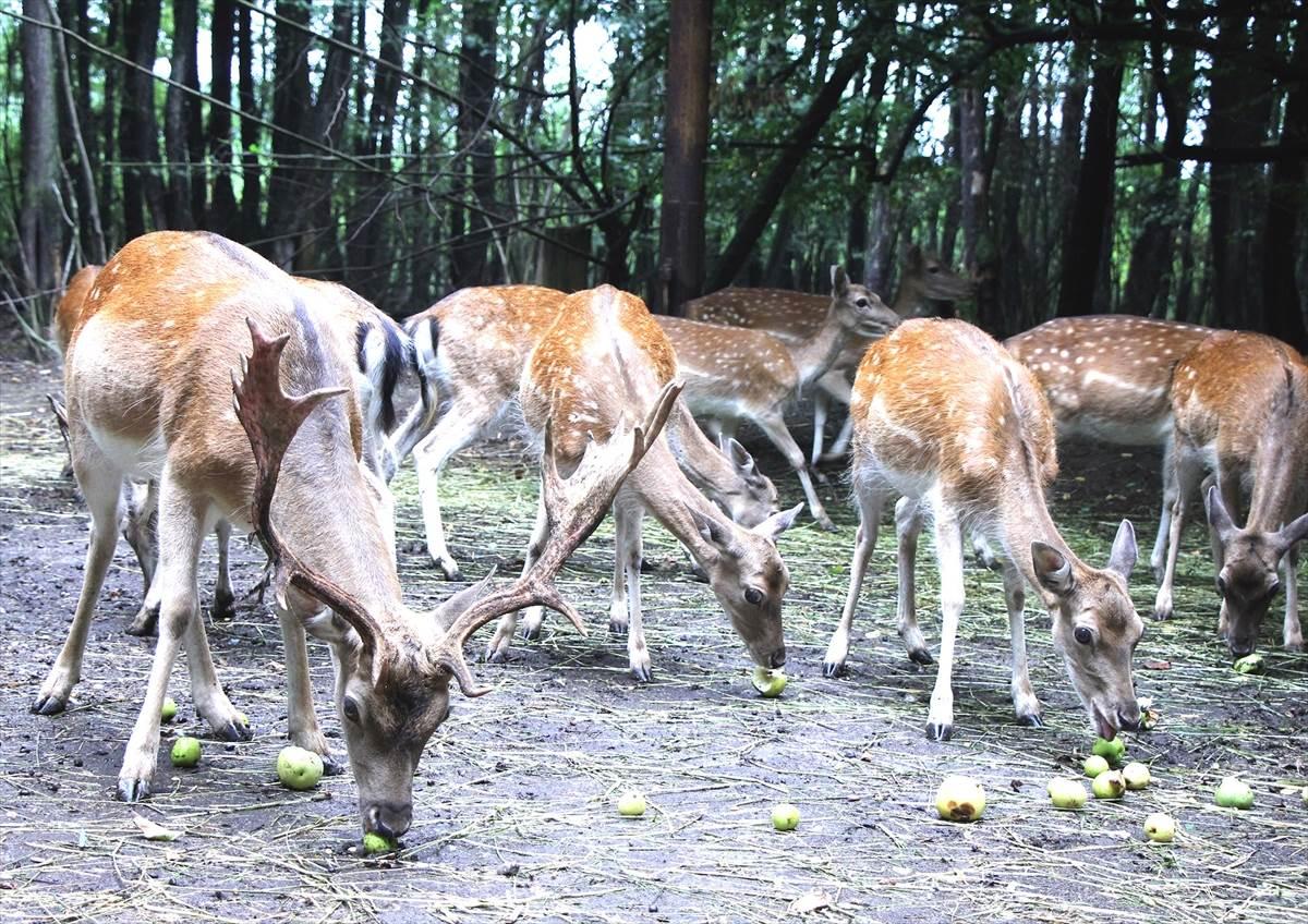 jelen, jeleni, Živinice
