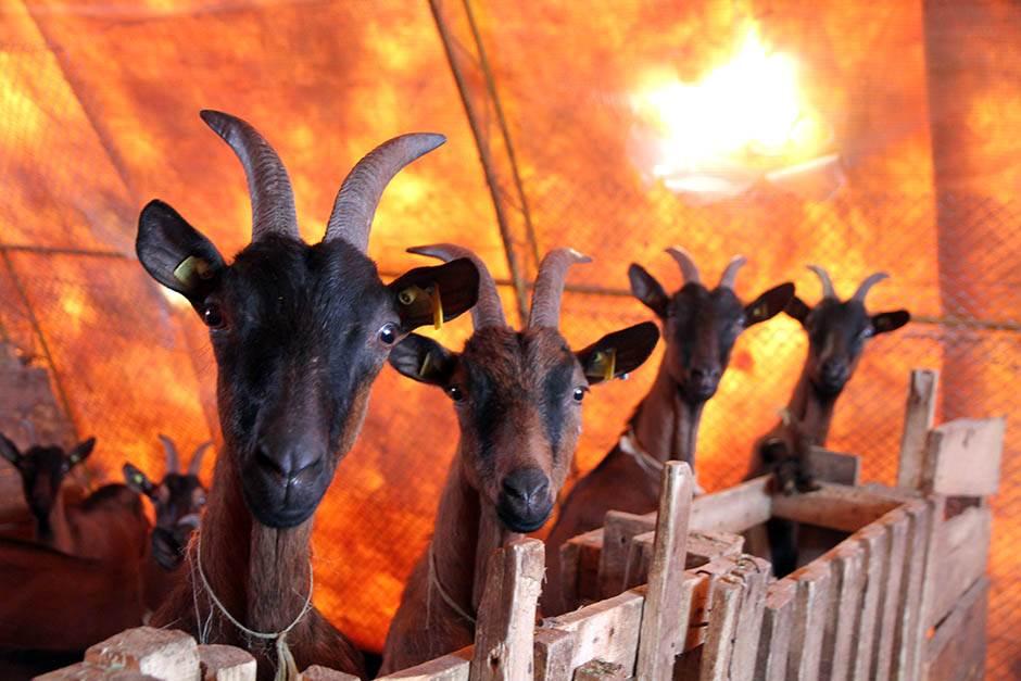 Popularni glumac posvetio se gajenju koza