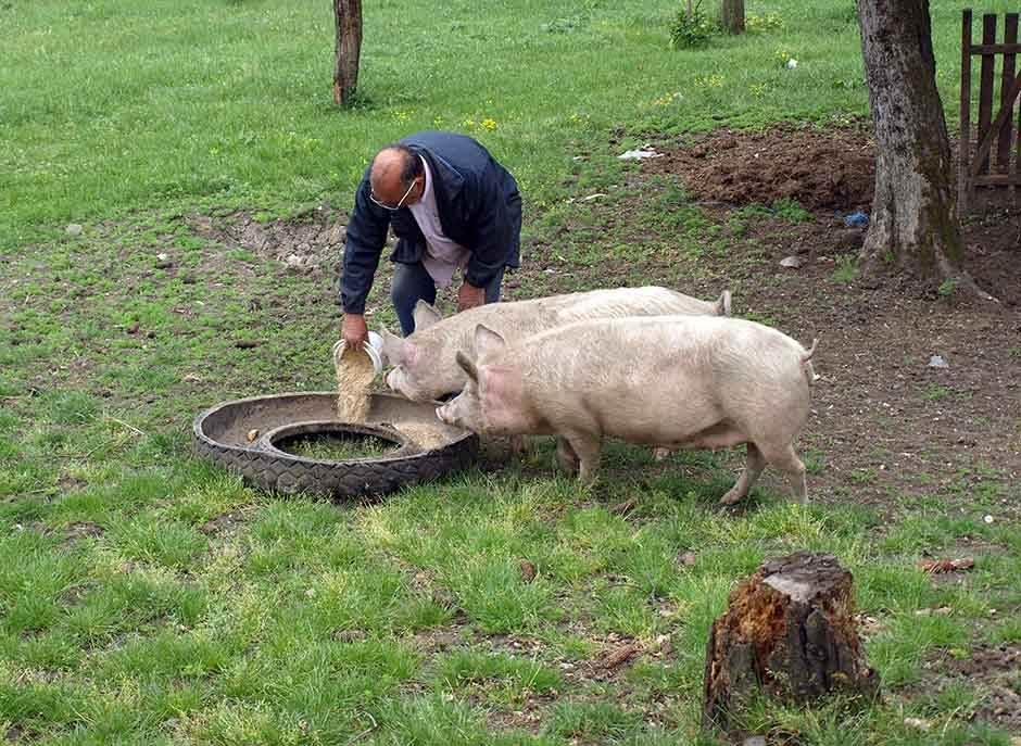 seoski turizam kosjerić svinje