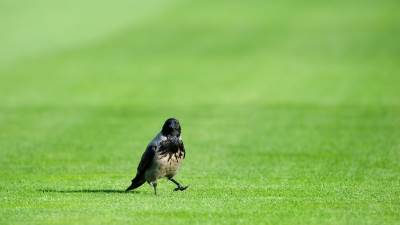 pokrivalica fudbal vrana