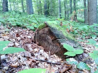 bukva, drvo, šuma