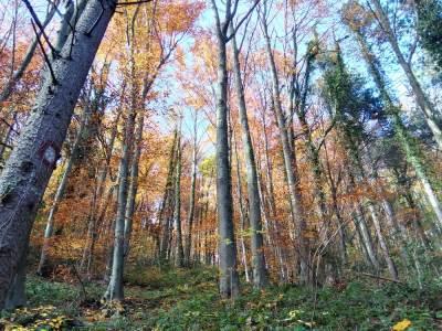 šuma, drveće, bukve