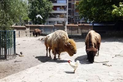 bizon, zoo vrt, zoo