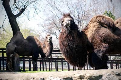 zoo vrt, kamila, kamile