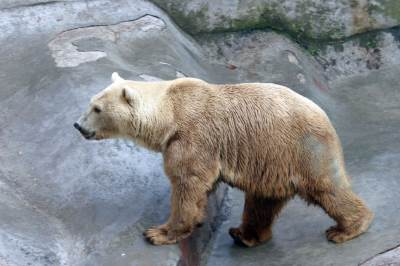 medved, beli medved